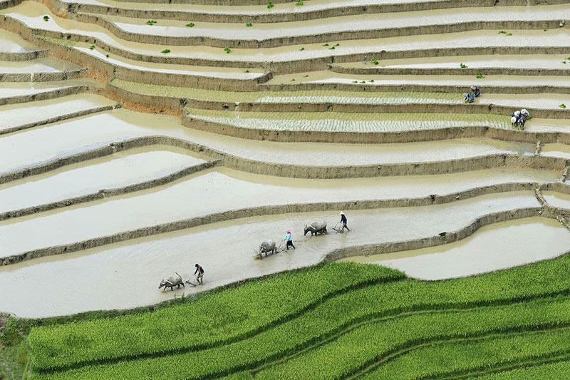 Cultivos de arroz Vietnam