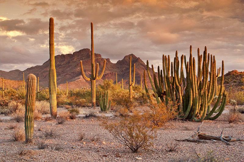 Desierto Cactus Sonora Revista Nature