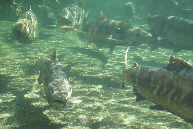 Calentamiento Global hace adelgazar a los peces