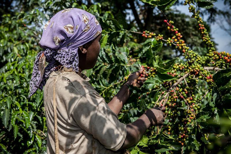 Según un estudio, el calentamiento global causará que la mitad de las cosechas de café desaparezcan.