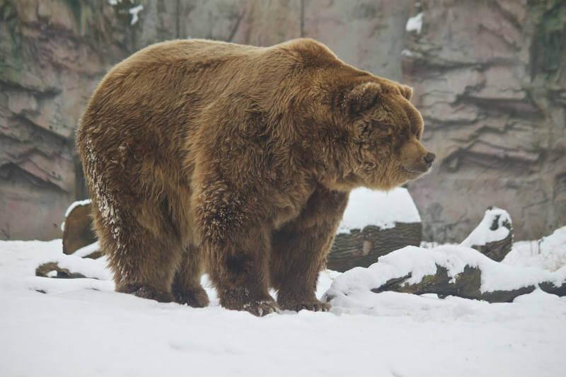 Gracias a la reducción de la caza, a un clima más caliente y al deshielo, los osos grizzlies están ocupando nuevos territorios.