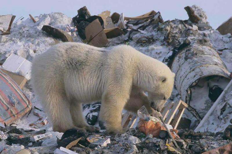 Los osos polares están pasando más tiempo en tierra, aumentando la posibilidad de encontrarse con personas y atacarlas.