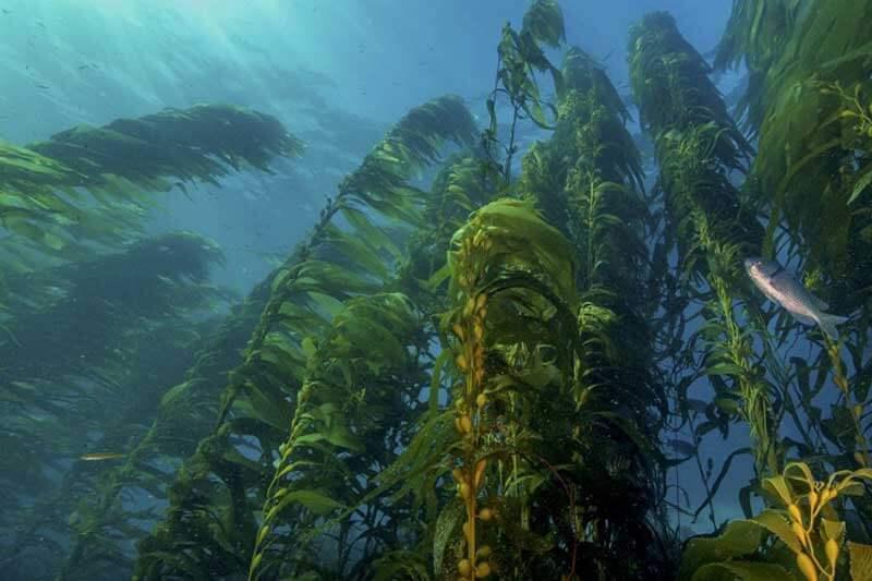 Los bosques de alga marina desaparecen mientras aumenta la temperatura