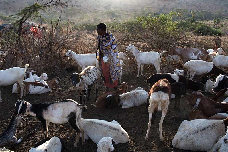 La ganadería se convierte en la alternativa de subsistencia frente a las sequías que limitan la agricultura, pero es un arma de doble filo.