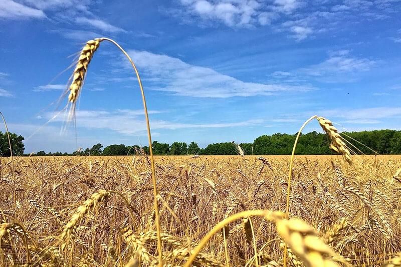El clima extremo es una amenaza a la seguridad alimentaria.