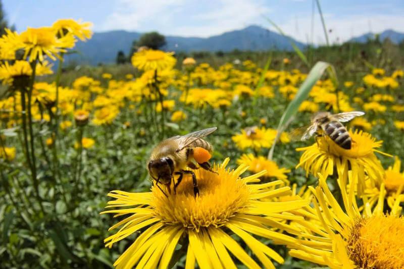 Es importante proteger a las abejas ya que ayudan a aumentar entre un 20%- 25 % la producción de café, cultivo que se verá afectado por el cambio climático.
