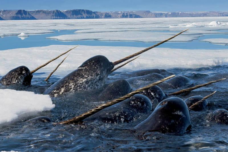 Científicos se apoyarán en estos mamíferos para realizar sondeos debajo de los glaciares en Groenlandia.