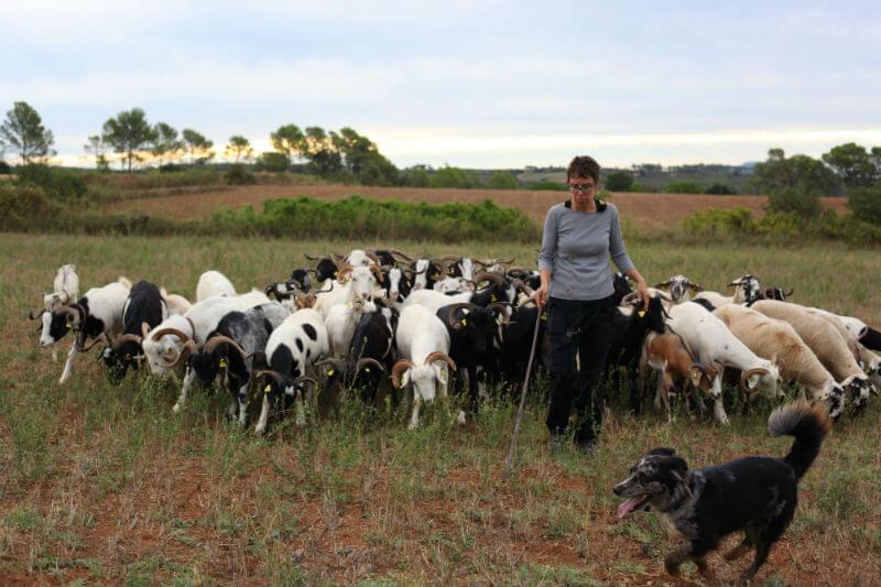 Agricultores en España dirigen a sus cabras a lugares con maleza para que se alimenten de ella y así reducir la la intensidad del fuego.