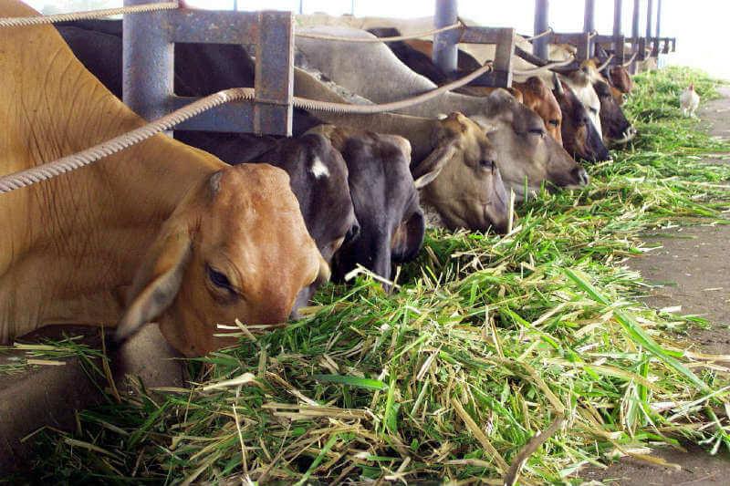 Según estudio, la genética de una vaca puede usarse para predecir las emisiones de metano y usarlo para fines de reproducción y reducción del gas.