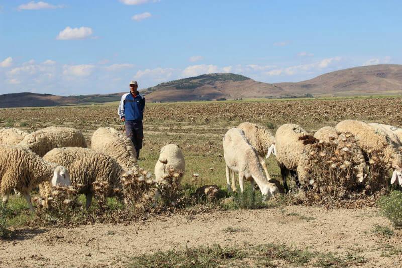 Menos lluvia y temperaturas más altas significan que los pastores en Argelia están luchando cada vez más para mantener sus rebaños.