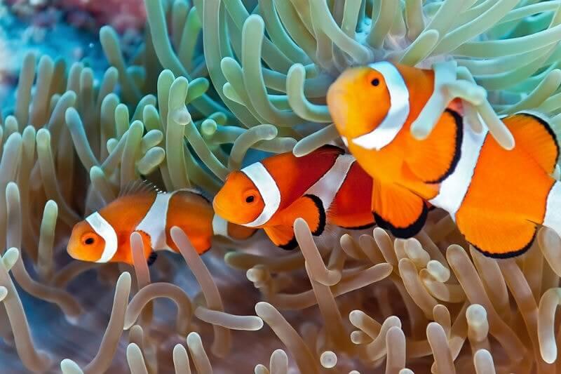 Estudio concluye que el pez payaso presenta estrés y un descenso en sus hormonas reproductivas cuando la anémona en la que habita se blanquea.