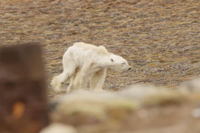 El fotógrafo Paul Nicklen nos muestra cómo la falta de hielo marino hace que sea más difícil para los osos polares encontrar comida.