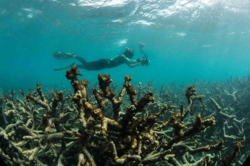 Análisis muestra un aumento dramático en la tasa de eventos de blanqueamiento de corales que afectan sistemas de arrecifes ecológicamente cruciales en el mundo.