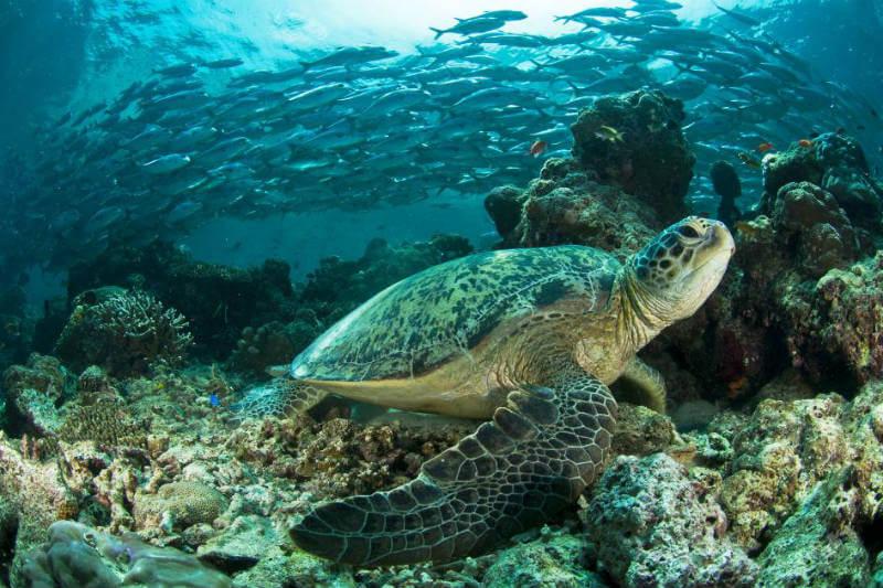 Estudio muestra que las tortugas marinas hembra de la colonia más grande del Océano Pacífico ahora superan a los machos en al menos 116 a 1.