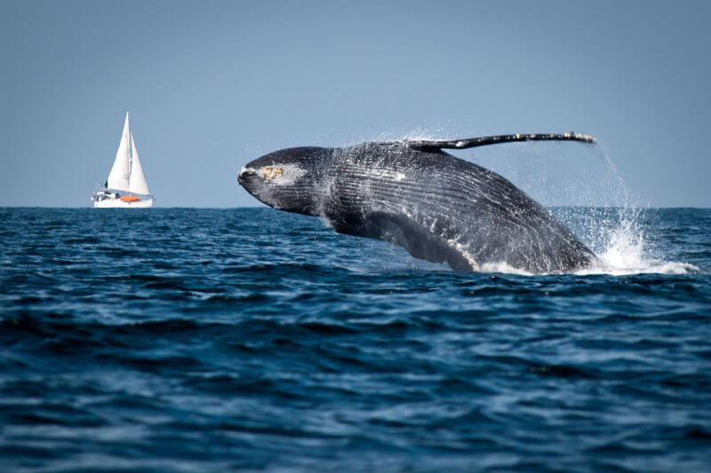 Las ballenas ayudan a mantener la estabilidad y la salud de los océanos, e incluso brindan servicios a la sociedad.