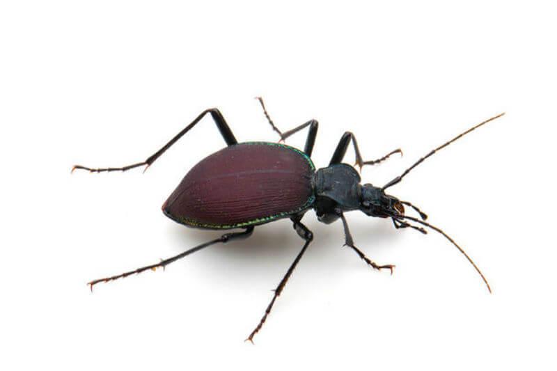 Estudio muestra que a medida que las temperaturas han aumentado, los escarabajos más grandes pueden haber disminuido de tamaño en hasta un 20% en 45 años.