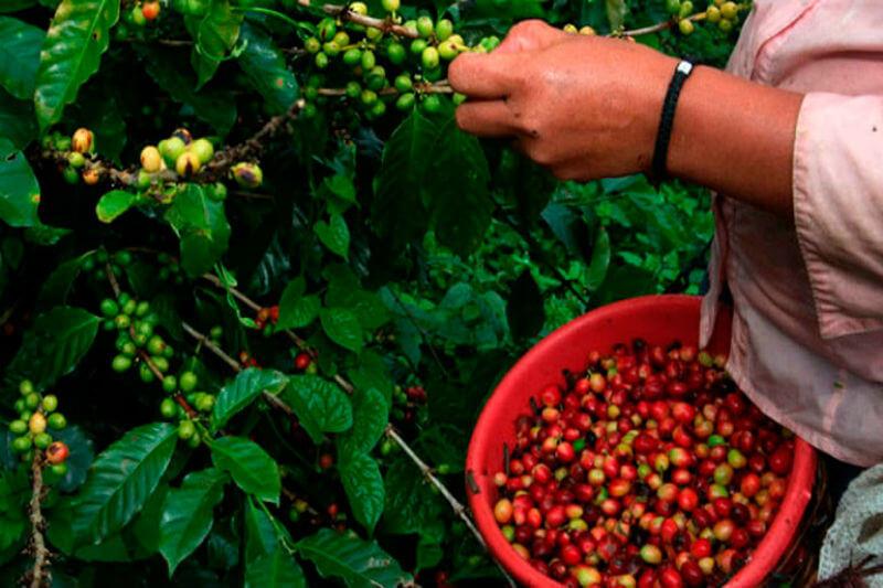 Los bajos precios y el calentamiento global afectan la producción de café, cuya cosecha 2017-2018 ha reducido sus ingresos en un 3.6% los primeros cuatro meses.