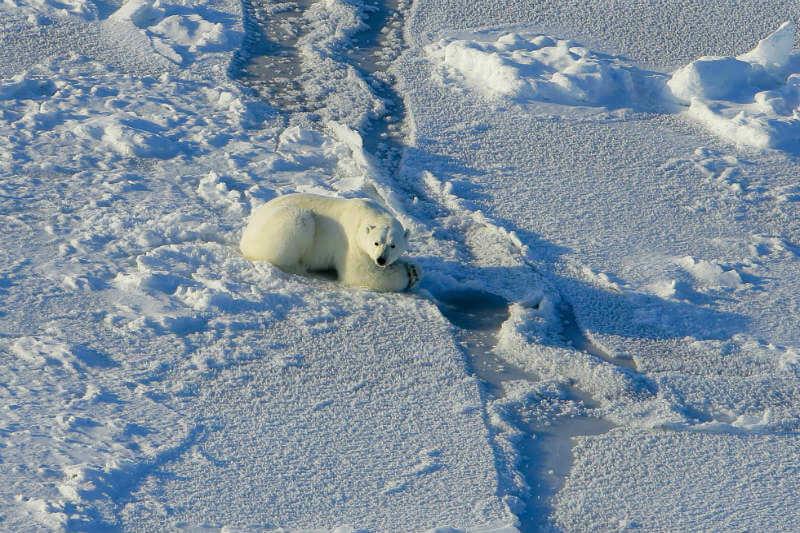 Por su elevado metabolismo, los osos necesitan un número específico de focas para alimentarse, pero no las pueden cazar por el deshielo.