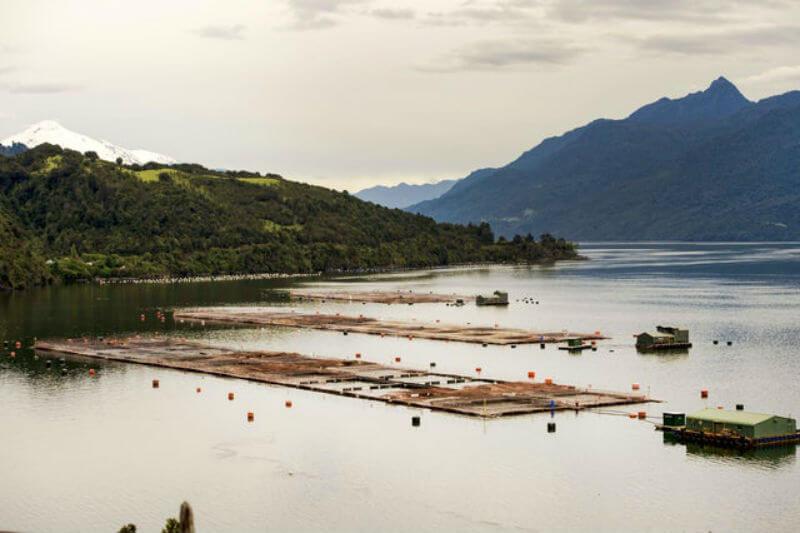 Científicos atribuyeron la pérdida a una floración de algas debido a la creciente temperatura oceánica, y que otras operaciones de acuicultura están en riesgo.