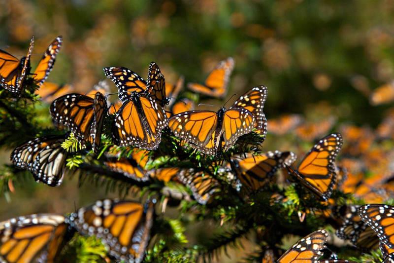 Según un informe del gobierno, el número de mariposas monarca que pasan el invierno en bosques de México ha declinado por segundo año consecutivo.