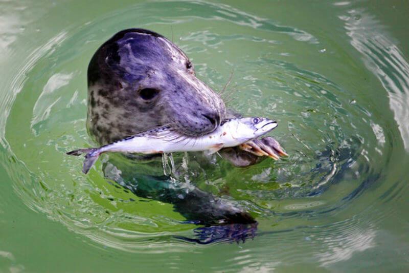 Se encontró que un 75% de peces mesopelágicos del Atlántico norte comidos por principales depredadores del mar estaban contaminados con fibras microplásticas.