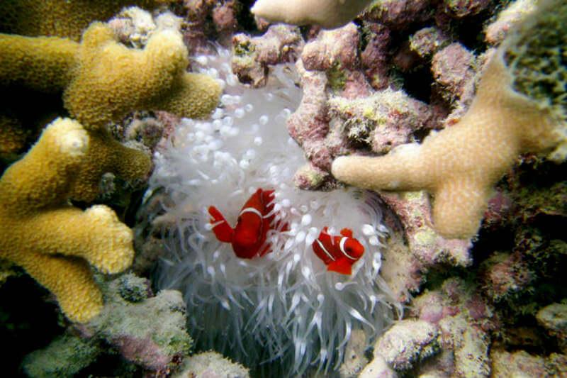 Científicos documentaron cómo los eventos de blanqueamiento afectan la supervivencia de peces clave para la salud de los corales, lo que afecta su resiliencia.