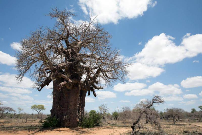 Investigadores alertan del colapso de la gran mayoría de los ejemplares más antiguos e imponentes de este árbol centenario en poco más de una década.