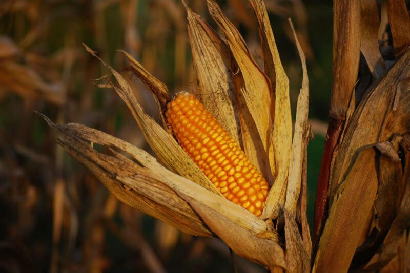Estudio advierte que el cambio climático aumentará el riesgo de fracasos simultáneos en las cosechas de las regiones productoras de maíz más grandes del mundo.