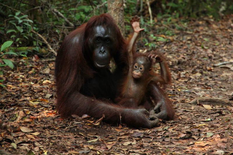 Video muestra a un orangután enfrentando a una excavadora, claro ejemplo de que en Borneo la población ha desaparecido más de un 50% en los últimos 60 años.