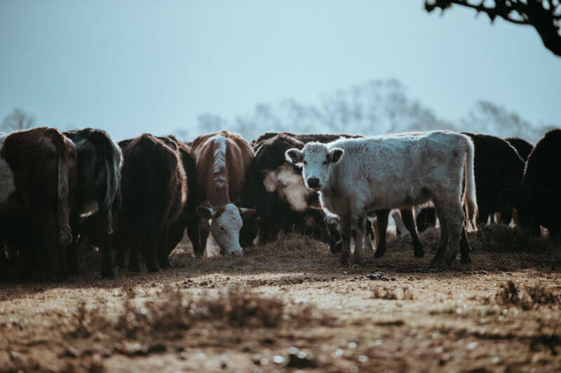 El matrimonio infantil está aumentando en partes de Sudán del Sur y Kenia, los padres intercambian a sus hijas por vacas y cabras para sobrevivir.