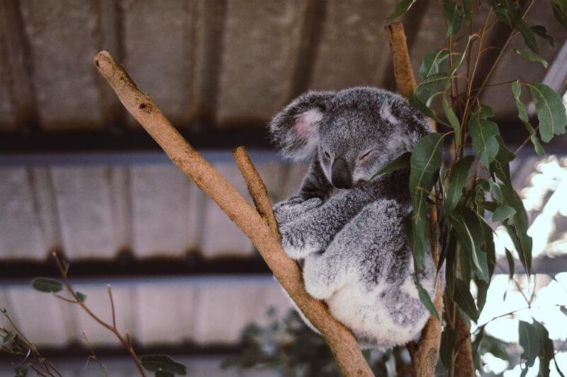 """""""Se calcula que quedan menos de 20,000 koalas en Nueva Gales del Sur y con la tala actual, estamos en camino de que se extingan en 2050"""", Stuart Blanch, WWF."""