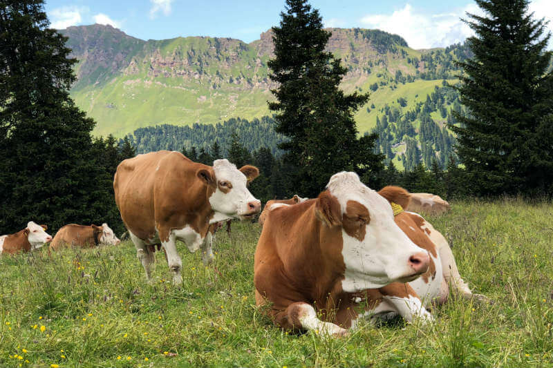 La empresa Agolin está vendiendo un aditivo para piensos compuestos basados en plantas que reduce las emisiones de metano de los bovinos hasta un 30%.