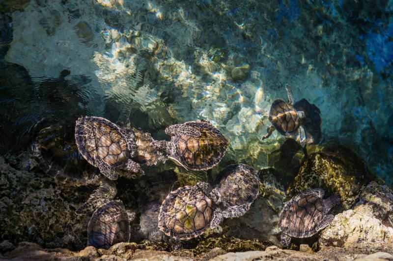 Científicos hallaron unas 800 partículas sintéticas en las 102 tortugas analizadas, pero su cantidad podría ser 20 veces mayor.