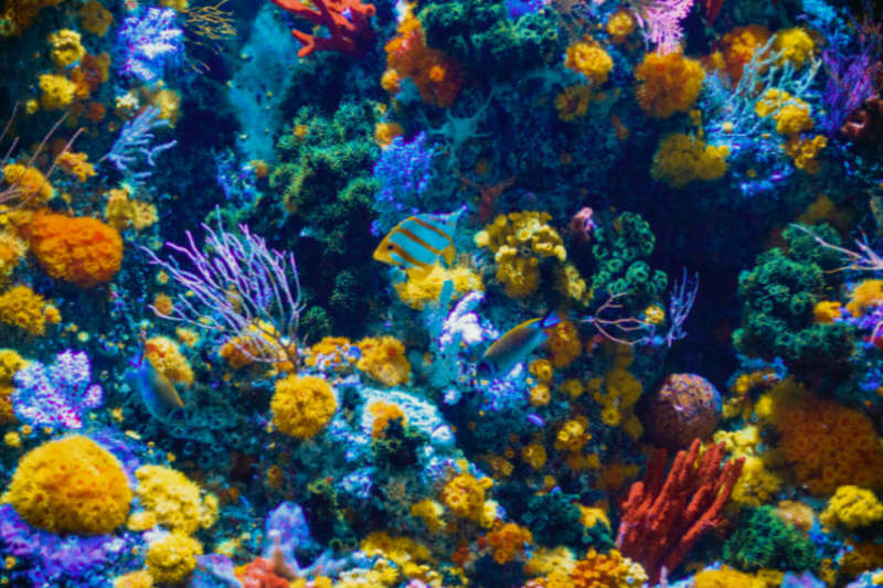 Según fuentes académicas, científicos recolectarán gametos liberados de forma sincronizada por corales en la Gran Barrera y los diseminarán en zonas dañadas.