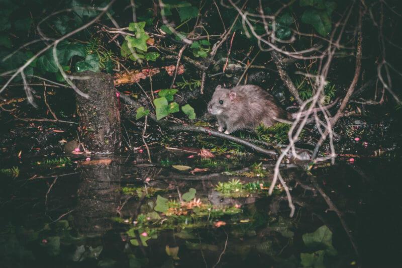 Expertos dicen que las altas temperaturas están ayudando a las ratas a alimentarse y aparearse durante más tiempo a lo largo del año.