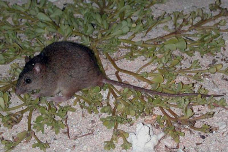 El melomys de Bramble Cay fue declarado extinto, debido a la pérdida de su hábitat, por la Universidad de Queensland en 2016 y el gobierno acaba de confirmarlo.
