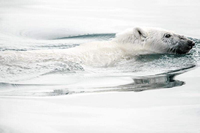 Novaya Zemlya (costa ártica nororiental de Rusia) ha estado llena de docenas de osos polares desde diciembre, se han reportado más de 50 avistamientos.