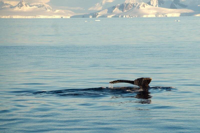 Estudio descubrió que las focas y las ballenas están cambiando sus patrones de alimentación a medida que el cambio climático altera sus hábitats.