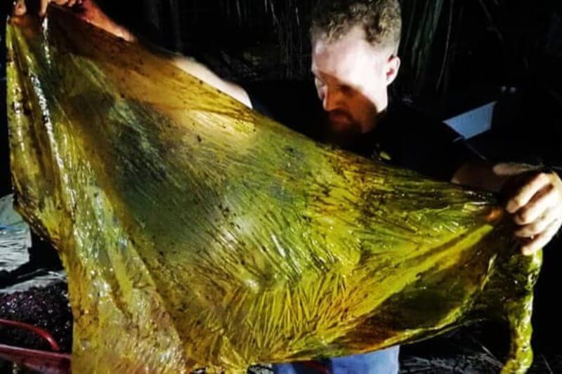 Biólogos marinos se horrorizaron al encontrar 16 sacos de arroz y múltiples bolsas de compras dentro de una ballena pico de Cuvier.