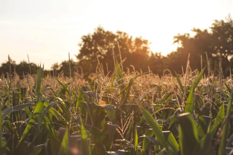 Estudio señala que estados como Iowa, Illinois, Nebraska, Minesota e Indiana representan más de la mitad de las muertes debido a la cercanía de las granjas.