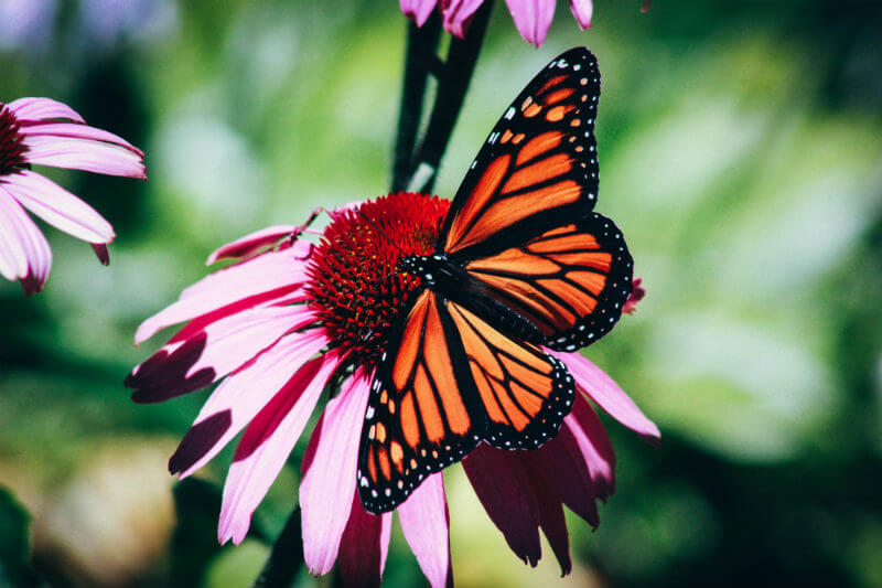 Experto alertó que la deforestación de bosques que resguardan a las mariposas debe cambiar porque su migración cumple un papel importante en la polinización.