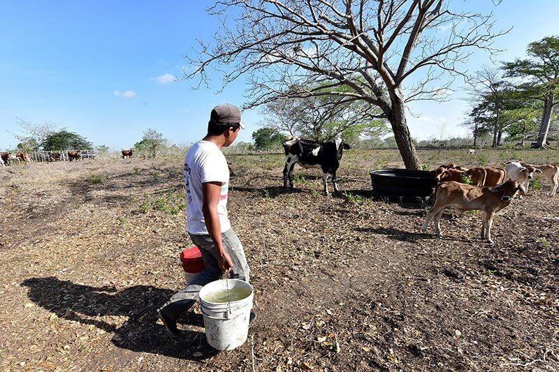Tabasco padece la peor sequía de los últimos 30 años, causando fuertes pérdidas de ganado.