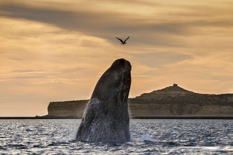 Informe muestra que el metabolismo de este animal cambió, lo que hizo que viajaran más lejos en busca de alimentos y los acercó a las rutas de navegación.