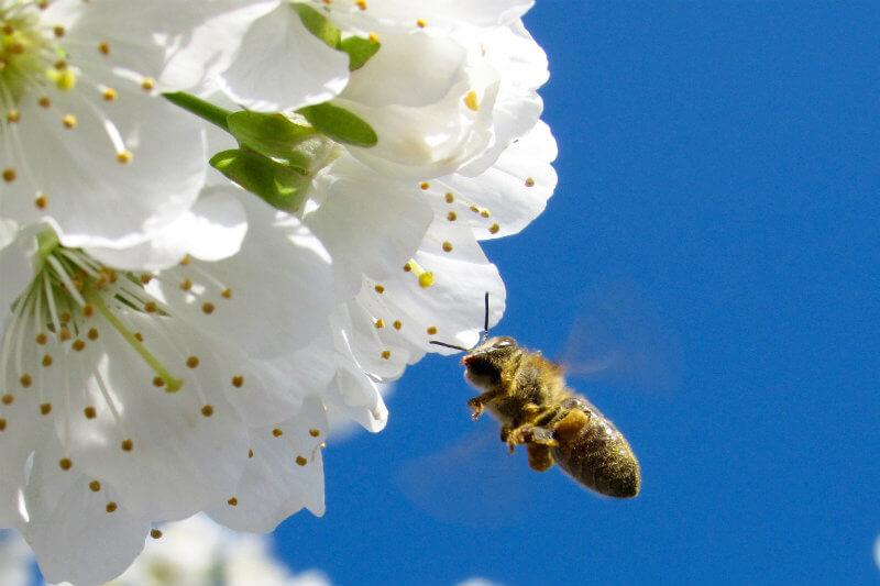 Reino Unido tiene un plan para aportar en la recuperación de abejas.