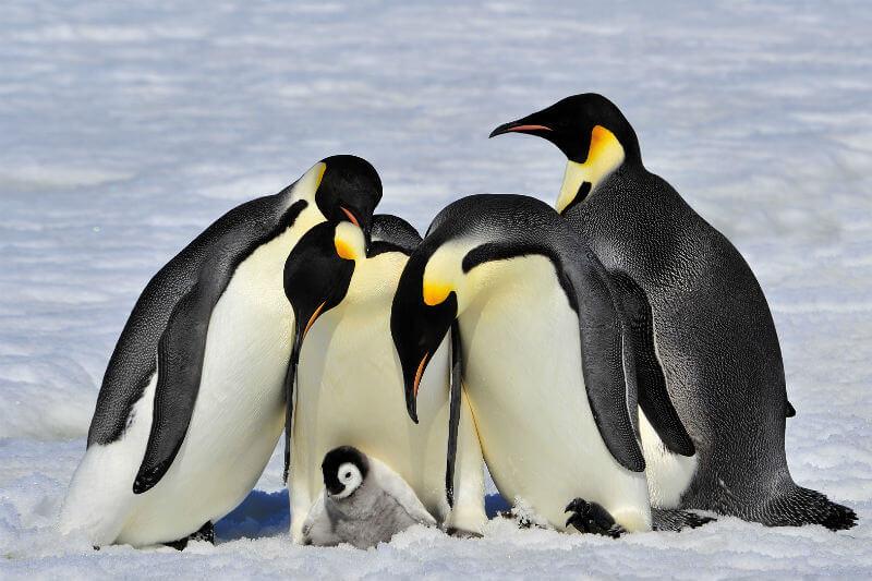 Casi todas las crías de una de las colonias más importantes de pingüinos emperadores han muerto debido al derretimiento de su hábitat en los últimos tres años.