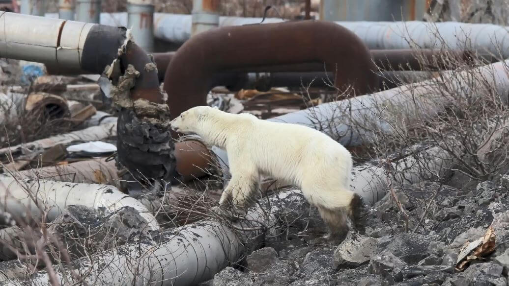 Es el primer oso polar visto en la ciudad en más de 40 años, según los ambientalistas locales.