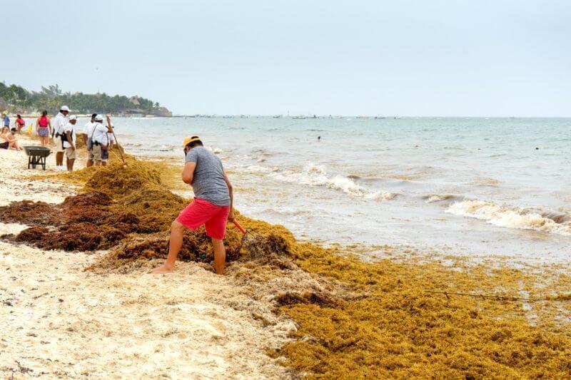 Esta alga que ha arribado a las costas principalmente de Quintana Roo, en México, y los investigadores han deducido que es a causa del calentamiento global.