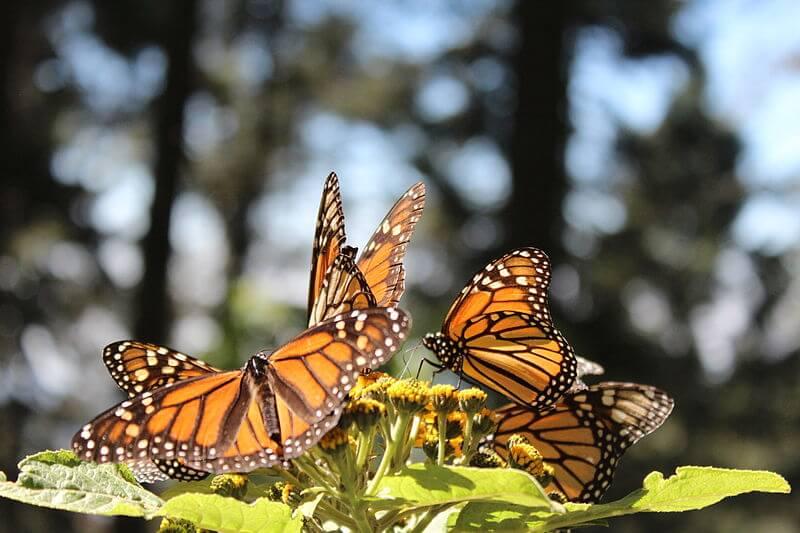 Voluntarios de Puebla, Querétaro, Guadalajara, Morelia, León y la Ciudad de México plantaron 15 mil oyameles en la Reserva de la Biosfera Mariposa Monarca.