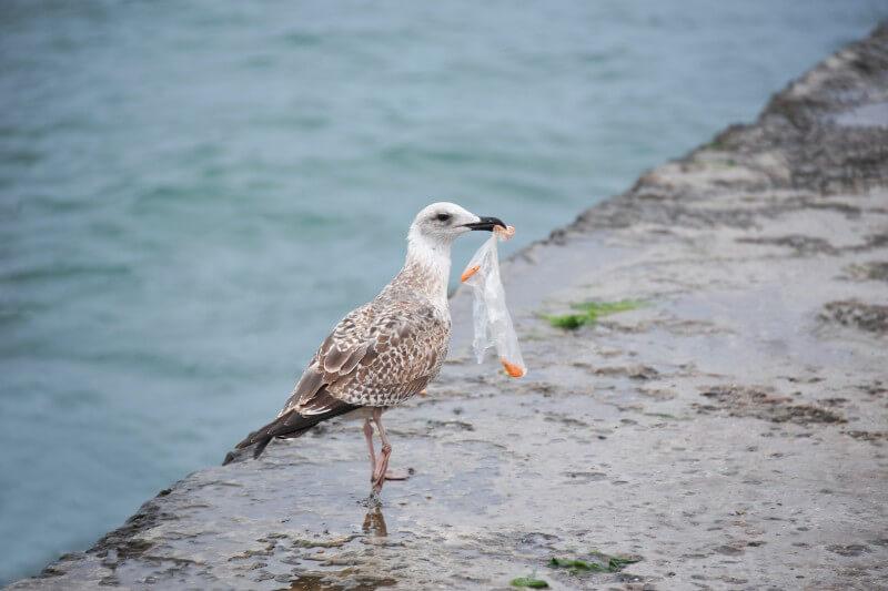 Investigadores descubrieron que las aves vivían en alarmantes condiciones de salud, incluido el colesterol alto, después de ingerir desechos plásticos.