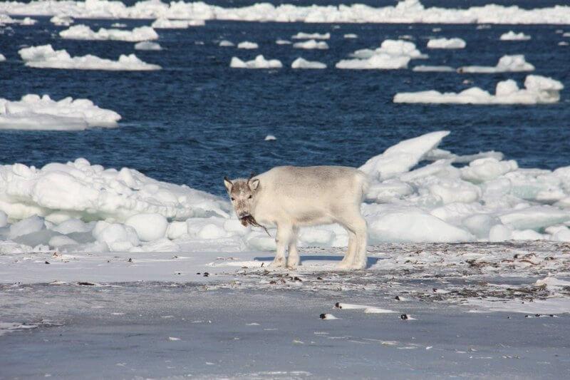 Los renos probablemente murieron de hambre después de no poder encontrar comida para pastar, según los científicos del Instituto Polar de Noruega.